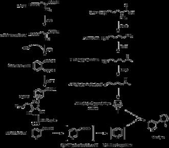Nicotine - Nicotine biosynthesis