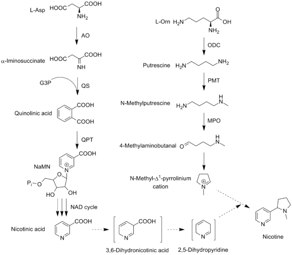 Nicotine biosynthesis Nicotine biosynthesis june 2012.png