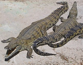 https://upload.wikimedia.org/wikipedia/commons/thumb/8/81/NileCrocodile.jpg/290px-NileCrocodile.jpg