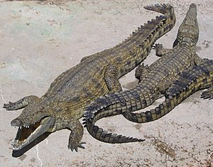 Nile crocodile - Nile crocodiles
