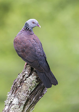 Nilgiri wood pigeon - Nilgiri wood pigeon photograph from Munnar, Kerala