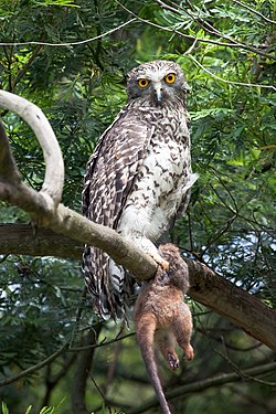 Lista de Animales Disponibles 250px-Ninox_strenua_-Lane_Cove_National_Park%2C_Sydney%2C_Australia-8