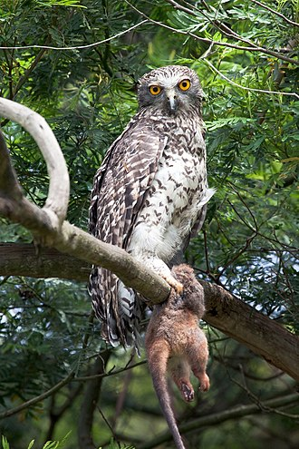 Powerful owl - Powerful owl holding the back half of a common ringtail possum, Lane Cove National Park, Sydney