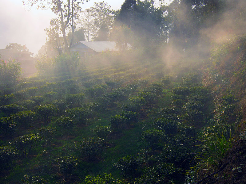File:Niroula's Tea Farm 2.JPG