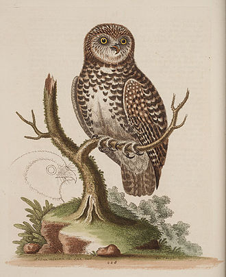 George Edwards (naturalist) - Etching from Gleanings, vol. I: The little owl