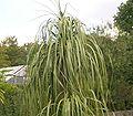 Nolina longifolia 03 ies.jpg