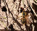 Nomada goodeniana by nest holes - Flickr - gailhampshire.jpg