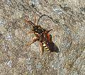 Nomada species. - Flickr - gailhampshire.jpg