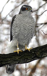 adult northern goshawk