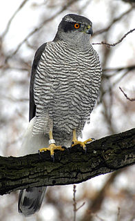 Northern goshawk species of bird