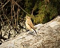 Northern Wheatear, Oenanthe oenanthe, female (26092177488).jpg