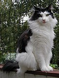 Norwegian forest cat.jpg