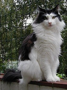 220px-Norwegian_forest_cat.jpg