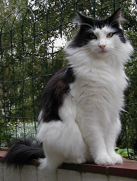 File:Norwegian forest cat.jpg