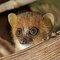 Nosy Be mouse lemur (Microcebus mamiratra) head.jpg