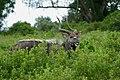 Nyala (Tragelaphus angasii) male browsing ... (50086371777).jpg