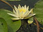 Nymphaea - Chi Nymphaea 150px Nymphaea alba2006 07 06