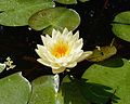 Nymphaea alba flower-and-leaves-DSC 3326w.jpg