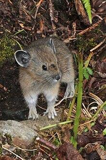 Noord Amerikaanse Fluithaas Wikipedia