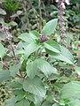 Ocimum basilicum Sweet Basil, Common Basil, Thai Basil at Wayanad 2019 (17).jpg