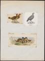Odontophorus guianensis - 1700-1880 - Print - Iconographia Zoologica - Special Collections University of Amsterdam - UBA01 IZ17100187.tif