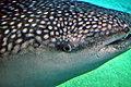 Oeil et spiracle requin-baleine.JPG
