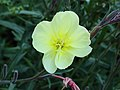 Oenothera stricta.JPG