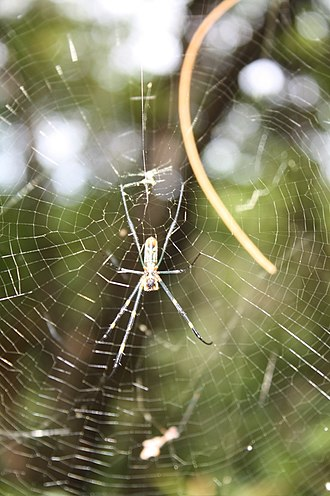 Aka Island - Golden silk orb-weaver spiders are plentiful on Akajima
