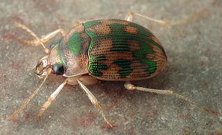 <i>Omophron</i> Genus of beetles