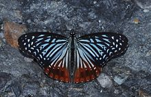 Open wing of Hestinalis nama Doubleday, 1844 – Circe WLB DSC 0099.jpg