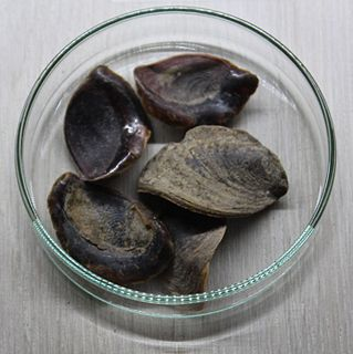 Onycha Unknown biblical substance used in incense