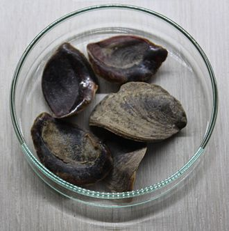 Incense offering in rabbinic literature - Operculum from sea snails