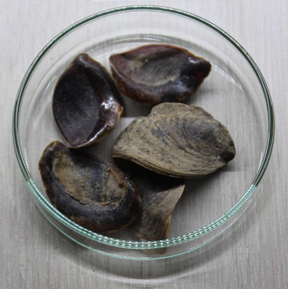 Operculum of Mollusca, Jerusalem- A Medical Diagnosis Exhibition IMG 9776
