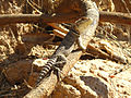 Oplurus is Madagascar.jpg