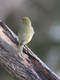 Orange crowned warbler (oreothylpis celata) crown visible.jpg