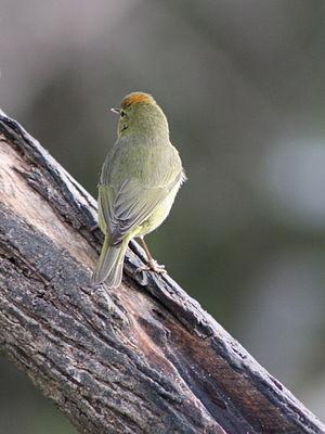 Orange-crowned warbler - Crown patch visible