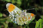 Orange tip (Anthocharis cardamines) male underside.jpg