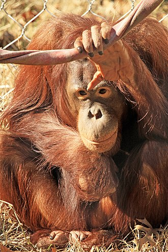 Cameron Park Zoo - Orangutan at Cameron Park Zoo in Waco, Texas