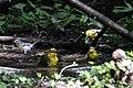 Orchard Oriole (female), Blue-winged Warbler & Northern Parula (bathing) Boy Scout Woods High Island TX 2018-04-11 12-51-52 (39993397180).jpg