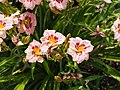 Orchid Daylily - 9335845411.jpg