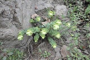 <i>Origanum rotundifolium</i> species of plant