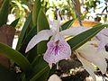 Orquidea en Aragua de Maturin, Monagas.jpg