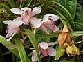 Orquidea tinerfeña - panoramio.jpg