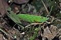 Orthoptera (36877159401).jpg