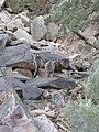 Outback Trip - Yellow-Footed Rock Wallaby 3 (4158735446).jpg