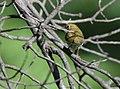 Ovenbird (28974338063).jpg