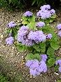 P1000601 Ageratum houstonianum (Blue Mink) (Compositae) Plant.JPG