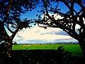 PADDY FIELDS,NANDYAL AP - panoramio.jpg