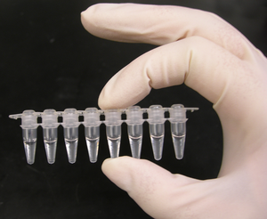 A strip of eight PCR tubes, each containing a 100μl reaction.