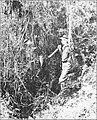 PSM V86 D039 Edge of forest polypodium chusquaca.jpg